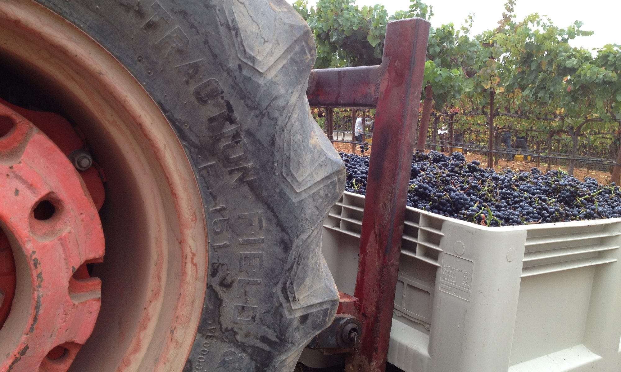 O'Connell Vineyards Pinot Noir harvest